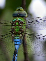 Blue Emperor Dragonfly (The Rough Diamond) Tags: africa blue green fly dragon dragonfly south bernice leroy emperor imperator anax