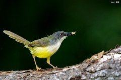 Yellow Bellied Prinia #2 (kengoh8888) Tags: wild yellow dof pentax background depthoffield clean perch prinia avian bellied k5