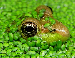 Green Frog - Cook County, Illinois (Griffin Harris) Tags: water illinois pond head frog amphibians rana greenfrog cookcounty pokingout clamitans pokingoutofwater griffinh