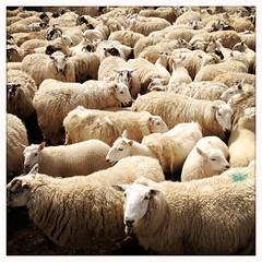 Skye Sheep (Felix van de Gein) Tags: schotland ecosse uk unitedkingdom united kingdom 2012 juli july isleofskye skye isle island ncn nationalcyclenetwork scotland summer schotland2012 cycling cycle cycleholiday