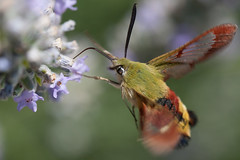 Hummingbird Hawkmoth in flight (mistermacrophotos) Tags: green