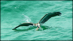 Scoop (Antonia Quest Photography/Larry Moore--Thanks) Tags: fish green bird beach water mexico coast photo sand gulf florida sony pelican destin emerald aq
