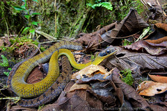 Dendrophidion clarkii (Primeval Nature) Tags: andean clarksforestracer cloudforest colubrid colubridae day dendrophidion dendrophidionclarkii ecuador fullbody horizontal mindo nature nonvenomous outdoor pichincha rainforest redevelop2015 reptile reptiles reptilia snake snakes southamerica wildlife