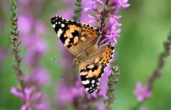 Papillon (Carahiah) Tags: labelledame cynthiacardui papillon butterfly nature macro fleur violet alsace france ailes couleurs color colors