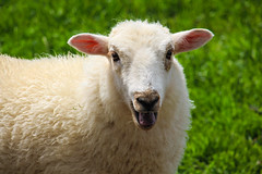 Bleating Lamb (Nomis.) Tags: canon eos 700d t5i rebel canon700d canoneos700d rebelt5i canonrebelt5i sheep lamb baa green baaing sk201606258322editlr sk201606258322 lightroom bleat bleating farm countryside wales welsh wool woolly