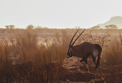 3365 (Liliya Kazil) Tags: namibia africa fishriver orix animal sunrise nature safari summer desert antilope nikon tamron nikond610 travel        landscape