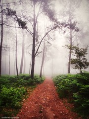 Summer colors (Guillermo Carballa) Tags: summer colors fog mist forest woods trees pines ferns green red light carballa olympus em5