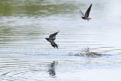 Swallows over stream (Kentish Plumber) Tags: nature kent wildlife reserve visitorcentre kwt nbw boughbeech kentwildlifetrust