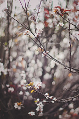 * (Wolf's kurai) Tags: canon wolfskurai bokeh flowers ume pink light natural nature trees