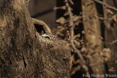 0411 Brahmakauz - Spotted Owlet (uwizisk) Tags: brahmakauz athenebrama india indien ranthambhorenationalpark spottedowlet