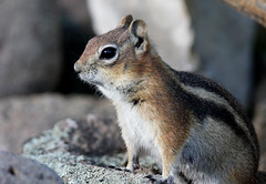 Golden-mantled Ground Squirrel (Spermophilus lateralis); Santa Fe National Forest, NM, Thompson Ridge [Lou Feltz] (deserttoad) Tags: nature newmexico animal rodent mammal fauna squirrel behavior mountain young