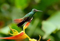 Rufous-tailed Hummingbird ----- Amazilia tzacatl (creaturesnapper) Tags: borinquenmountainresort rincondelavieja costarica birds hummingbirds rufoustailedhummingbird amaziliatzacatl