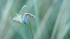 Blue (Michel Images) Tags: insectes macrophotographie planzolles