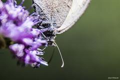 250#365 MacroFly (Fabio75Photo) Tags: farfalla occhi macro petali delicatezza colori natura volo volare fly