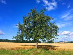 Birnenbaum (10.000 Schritte) Tags: baum bume feld birnenbaum obst birnen felder gras wiese wolken himmel blau grn