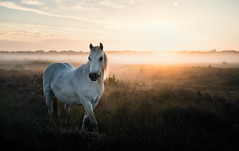 Roydon Common 03/09/2016 (Matthew Dartford) Tags: eastanglia animals atmospheric bokeh common fog glow heath horse kingslynn lights mist misty norfolk roydon roydoncommon wildlife shetland pony