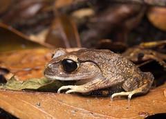 IMG_7883-0(W) Montane Large-eyed Litter Frog (Leptobrachium monatun) (Vince_Adam Photography) Tags: herping nightherping herps herpetology herpentofauna nightmacro macro wildlifeofborneo wildlifeofmalaysia borneo frogs frog katak katakgunung amphibian amfibia