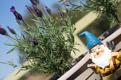 8/365 - Gnome (katet_j) Tags: gardening garden gnome lavender sunny 365day