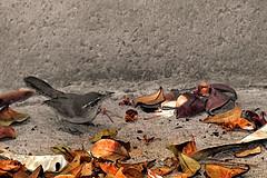 Bewick's Wren and the colorful leaves. (Alexandra Rudge. Joyful Summer!) Tags: aves ave avesdenorteamerica avescalifornianas avesdecalifornia avesdelsurdecalifornia avesdelosangeles pajaros pajarosdecalifornia pajarosdenorteamerica pajaroscalifornianos pajarossalvajesnorteanericanos fauna faunadenorteamerica faunadecalifornia faunacaliforniana faunasilvestre faunanorteamericana vidasalvaje vidaanimalpajarossalvajes vidasilvestre virtualartwork virtualwork digitalcreation artedigital alexandrarudgedigitalart alexandrarudgeimages alexandrarudge alexandrarudgephotography animales animalia animals alexandrarudgebirds canon californiawildlife californiafauna californiabirds leaves colorfulleaves hojas hojasdearbol hojasdearbolcoloridas artecontemporaneo contemporayart suigeneris thebewickswren thryomanesbewickii passeri passeriformes passerida troglodytidae lawildlife lafauna labirds losangeleswildlife losangelesbirds losangelesfauna southerncaliforniawildlife southerncaliforniafauna southerncaliforniabirds tbewickii creative creativo creativephotography creativeart artevirtual artecreativo nature naturaleza birds texture