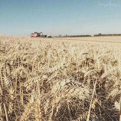 Harvesting Skyfall Wheat (Ashley Wallace - Touchdown Aviation) Tags: harvest 2016 farming skyfall wheat summer sunshine case combine fendt tractor grain cambridgeshire fields iphone photography