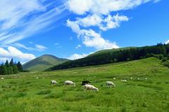 Moutons, Ecosse (Raymonde Contensous) Tags: ecosse highlands valledeglencoe nature montagne paysages