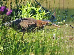 Eye on the prize (My Long Lens) Tags: heron greenheron green bird birdwatcher lake waterbird water pennsylvania nikon