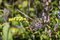 On Goldenrod, 2016.08.23 (Aaron Glenn Campbell) Tags: bmr backmountain lehman luzernecounty nepa pennsylvania telephoto zoom insect dragonfly nature field weed goldenrod outdoors sony a6000 ilce6000 a6k sonyalpha6000 mirrorless shallow depthoffield fe70200mmf4goss emount sel70200g