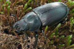 Lucanus-cervus_5 (amadej2008) Tags: taxonomy:binomial=lucanuscervus stagbeetle hirschkfer roga kleman lucanuscervus stag beetle rogai klemani lucanus cervus