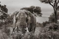 Old Ellie (Sheldrickfalls) Tags: bullelephant elephant olifant phabeni phabenigate krugernationalpark kruger krugerpark mpumalanga southafrica