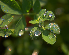 The beauty of raindrops (elenashen5) Tags: raindrops macro