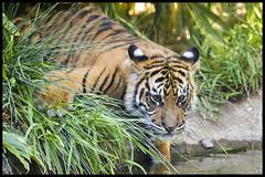 Testing the Waters (KRIV Photos) Tags: sandiego sumatrantiger tiger wildanimalpark animal