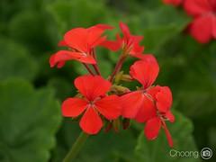 (choong mun) Tags: green leaf summer flowers red lumix14140mm panasoniclumixg7