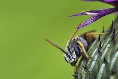 Beatle (pavel conka) Tags: beatle eyes nature macro makro conka czech bodlk brouk