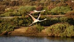 _DSC1710 - Rserve naturelle de Ria Formosa au Portugal (Valber78) Tags: flamant flamantsroses algarve riaformosa faro