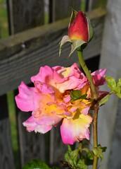 Rose & Rosebud (Bebopgirl1969) Tags: rose rosebud pink yellow red flower garden