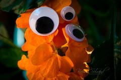 strange flower  :-) (BSchwend1) Tags: googlyeyes crossandra firecrackerflower orange macro flower october