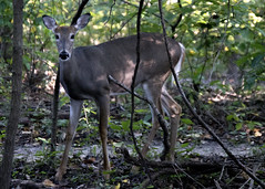 Wild Encounter (MightySnail) Tags: dear whitetailed doe woods woodland encounter shadow dappled