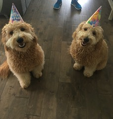 Shasta and Chewy's Stanley and Auggie for thier 1st birthday!