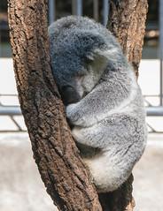 Koala (Scottmh) Tags: 2016 australia nikon d7100 heads holiday koala noosa queensland spring travel