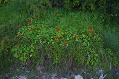 Tropaeolum majus and Ipomoea cairica, Green Place Reserve, Mosman Park, Perth, WA, 12/08/16 (Russell Cumming) Tags: plant weed tropaeolum tropaeolummajus tropaeolaceae ipomoea ipomoeacairica convolvulaceae greenplacereserve mosmanpark perth westernaustralia