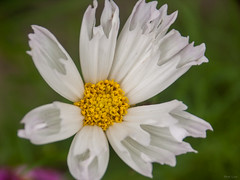White Flower (Phet Live) Tags: phet live macro a2 dimage