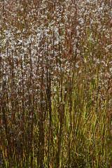 Little Bluestem Abstract (pchgorman) Tags: littlebluestem schizachyriumscoparium taxonomy:binomial=schizachyriumscoparium schizachyrium poaceae pleasantvalleyconservancy danecounty wisconsin prairies savannahs september abstracts