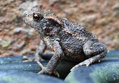 garden visitor (boggled) Tags: sonya5100 frog toad gardenwildlife