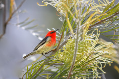 Scarlet honeyeater (jan_clewett) Tags: scarlet
