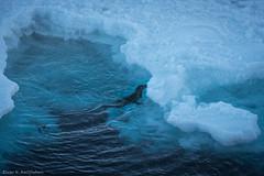 Harp seal 2 (Elvar H) Tags: arcticocean harpseal helmerhansen phocagroenlandica siarctic grnlandssel sealsampling vuselur