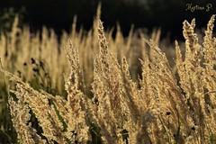 in the evening sun... (martinap.1) Tags: grass nikon d3300 golden evening beautiful light licht schnes abendsonne abend 55200mm grser