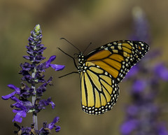 Monarch_SAF3536-1 (sara97) Tags: copyright2016saraannefinke flyinginsect missouri monarch monarchbutterfly nature outdoors photobysaraannefinke pollinator saintlouis towergerovepark danausplexippus colorful butterfly insect