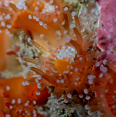 orange jewel anemone (richie rocket) Tags: scillies seasearch scillyisles cornwall uk underwater scuba diving