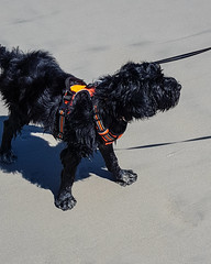 Sandy Feet (crisp4dogs) Tags: gabby pwd portuguesewaterdog puppy crisp4dogs acrisp beach water