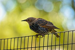 I Hope One Day To Hear You Sing Again (Anna Kwa) Tags: commonstarling europeanstarling starling bird sturnusvulgaris passerine sturnidae bokeh fence washingtondc usa annakwa nikon d750 afsnikkor70200mmf28gedvrii my sing smile always dontworry wish bobmarley threelittlebirds beyou seeing heart soul throughmylens bewell memories remembrance travel world monday hope